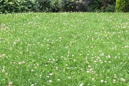 chamomile ground cover