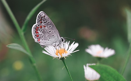 chamomile lawn pollinators