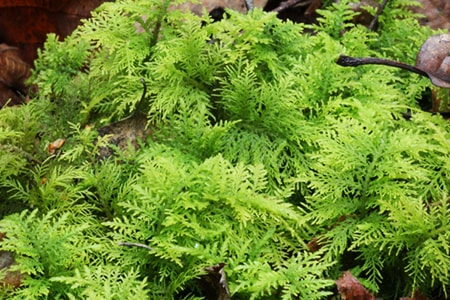 common tamarisk moss