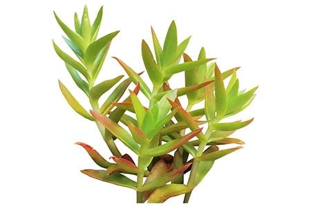 crassula campfire jade varieties