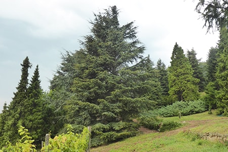 the cyprus cedar tree species
