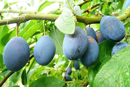 damson plum types