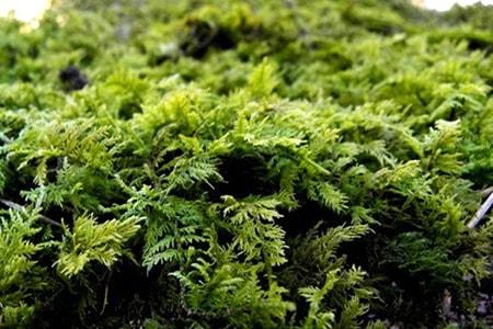 delicate fern moss