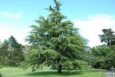 of the cedar tree types, the deodar cedar is the one known for weeping