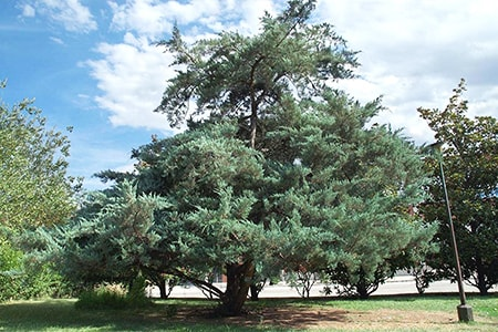 the eastern red cedar tree species look a lot like a juniper because they belong to that family
