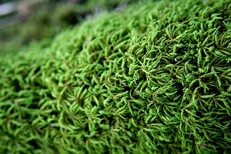 entodon seductrix moss