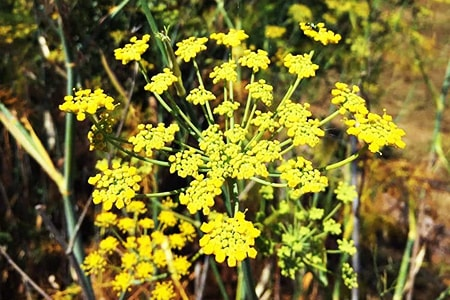 fennel growing conditions