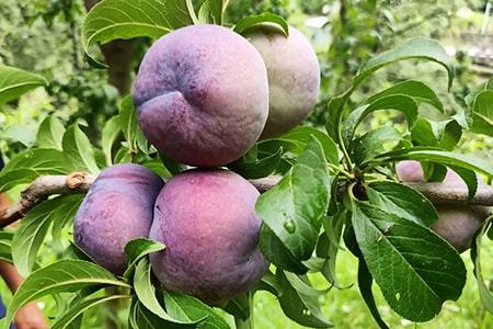friar plums are different types of plums in the sense that they come from Japan and harvest late in the season