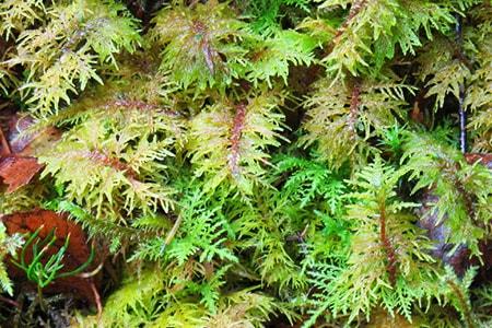 glittering wood moss