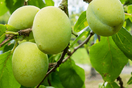 greengage varieties of plums are of an unusual color but are used just as much as any other