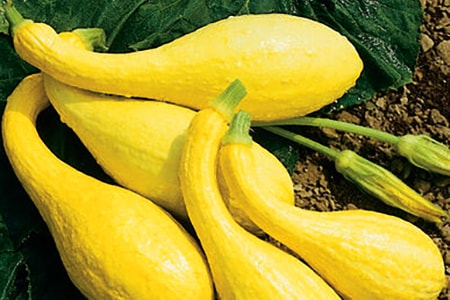 how long does it take squash to grow