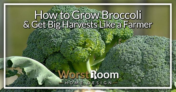 how to grow broccoli