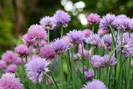 how to plant chives
