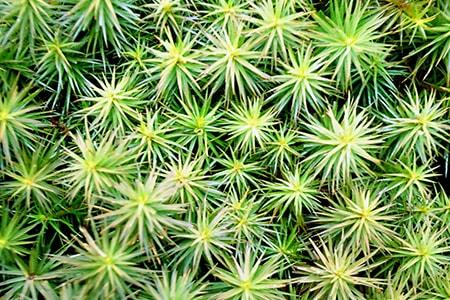 juniper moss