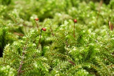 lanky moss types