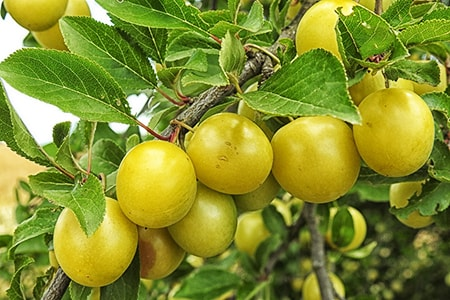 mirabelle plum varieties are better known as cherry plums