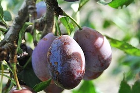 moyer plum is europe's favorite kinds of plums