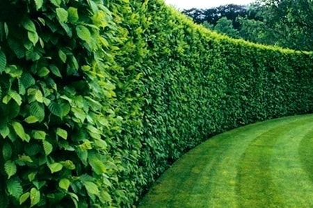 natural privacy fence
