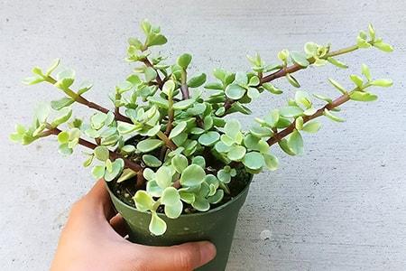 porkbush elephant bush jade plant