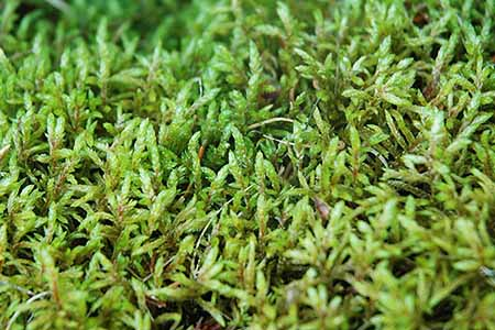 ribbed bog moss