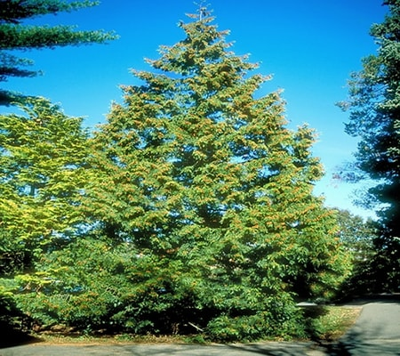 of the different types of cedar trees the western red cedar produces one of the most used woods of its type