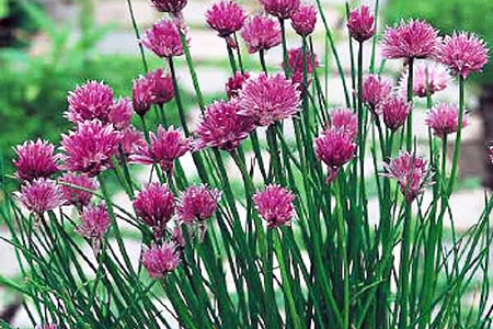 what do chives look like