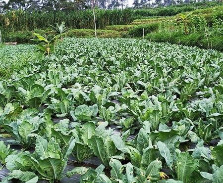 when to harvest cauliflower