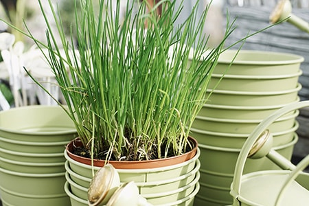 when to plant chives