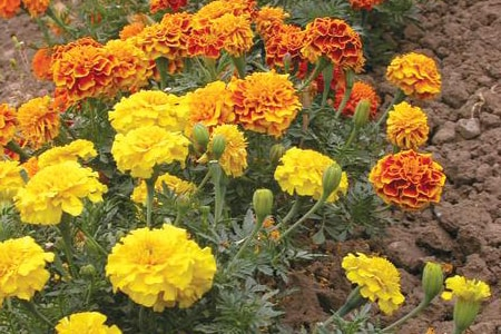 bonanza marigold variety
