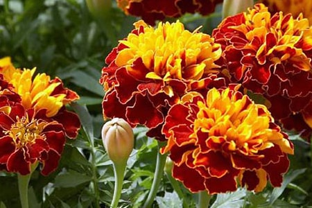 bounty marigold varieties