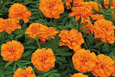 hero orange types of marigolds