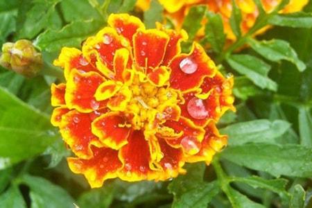 little hero marigold types