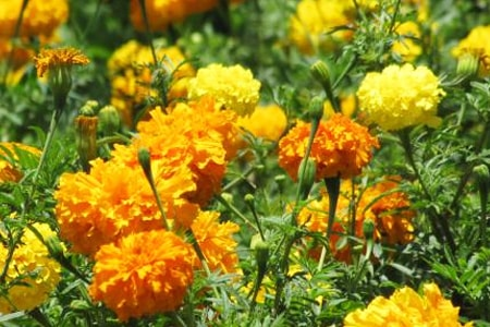 mexican marigold types