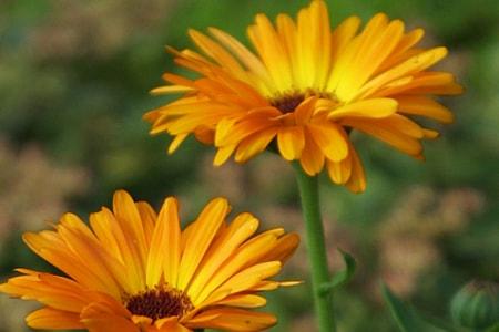 pot marigold varieties