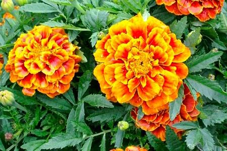 queen sophia marigold types
