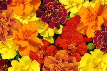 safari mixture types of marigold