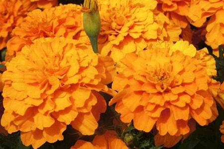 safari tangerine marigold varieties