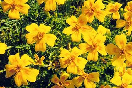signet types of marigolds