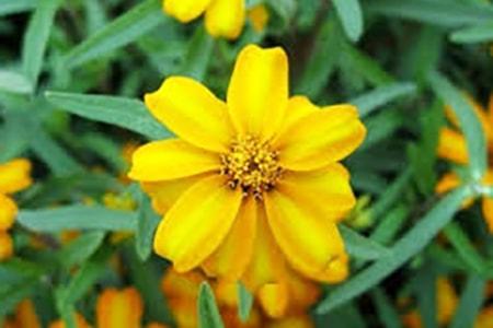 spanish tarragon marigold variety