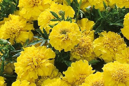 yellow jacket marigold