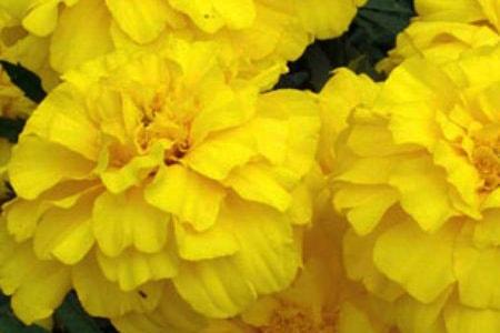 zenith lemon yellow marigold