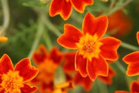 zenith red marigold