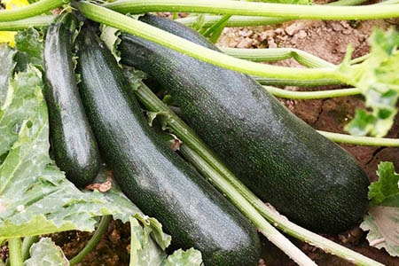 black beauty zucchini are zucchini types that produce high yields during summer
