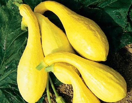 crookneck squash are bright yellow varieties of zucchini that are often simply considered a squash