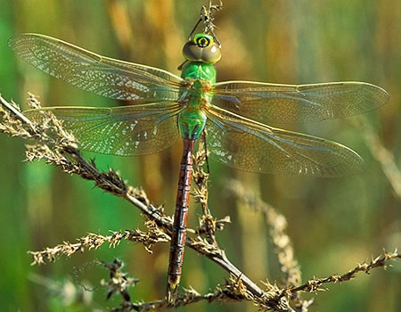 darner types of dragonflies do not have thoracic stripes