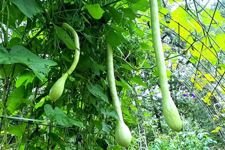 rampicante zucchini are zucchini types that can grow incredibly long especially when the vine is allowed to climb for long lengths