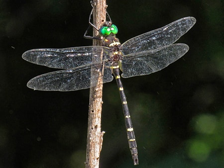 river cruiser dragonfly are a dragonfly species with bright green eyes and yellow stripes along the body