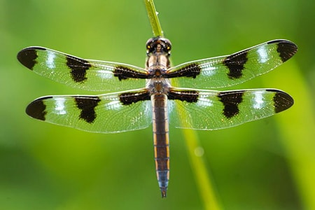 skimmer dragonfly are different types of dragonflies visually in that they have shorter tails that are broader