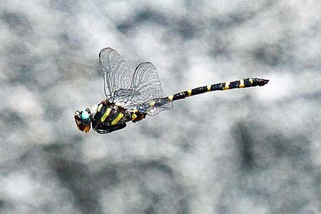 spiketail dragonfly are a variety of dragonfly with yellow stripes along the thorax and tail