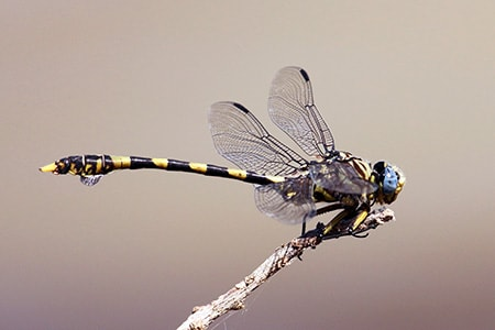 tigertail dragonfly